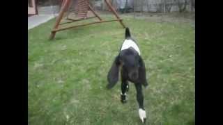 Jan-Serce 5 | www.koziebrody.com.pl | koza anglonubijska