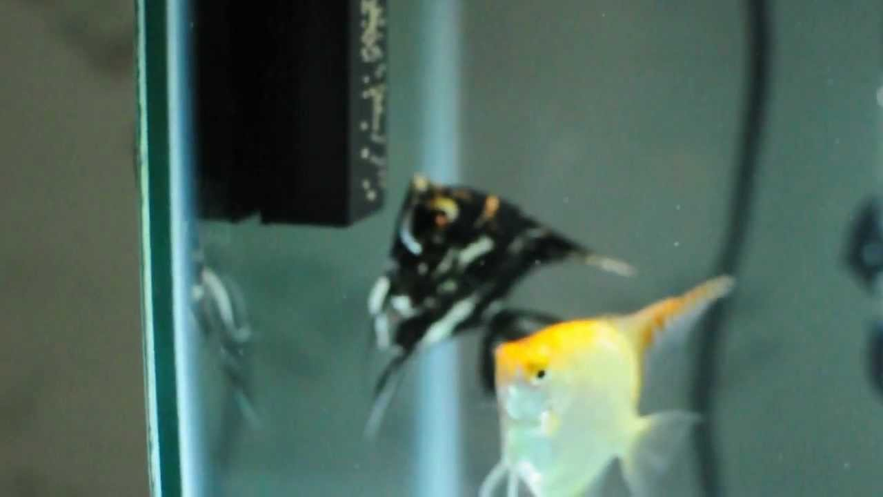 Angelfish Laying Eggs Day 1 Youtube,Types Of Shrubs In New England