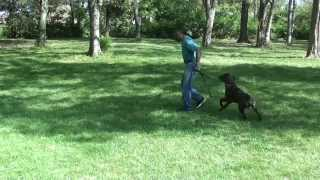 Guy Nashville Dog Trainer 111: Training A Cane Corso Hand Signals And  Voice Comands