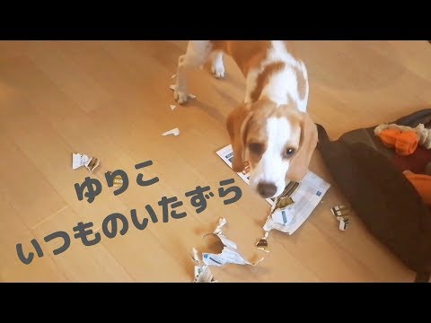 レモンビーグルパピーゆりこシュレッダーになる Dog Prank Vlog