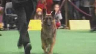 German Shepherd Judging At 2010 Westminster Kennel Club Show