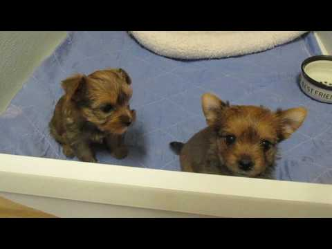 sable yorkie puppies