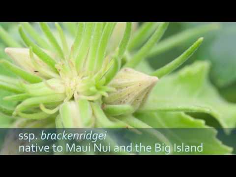 Hawaii's native Hibiscus