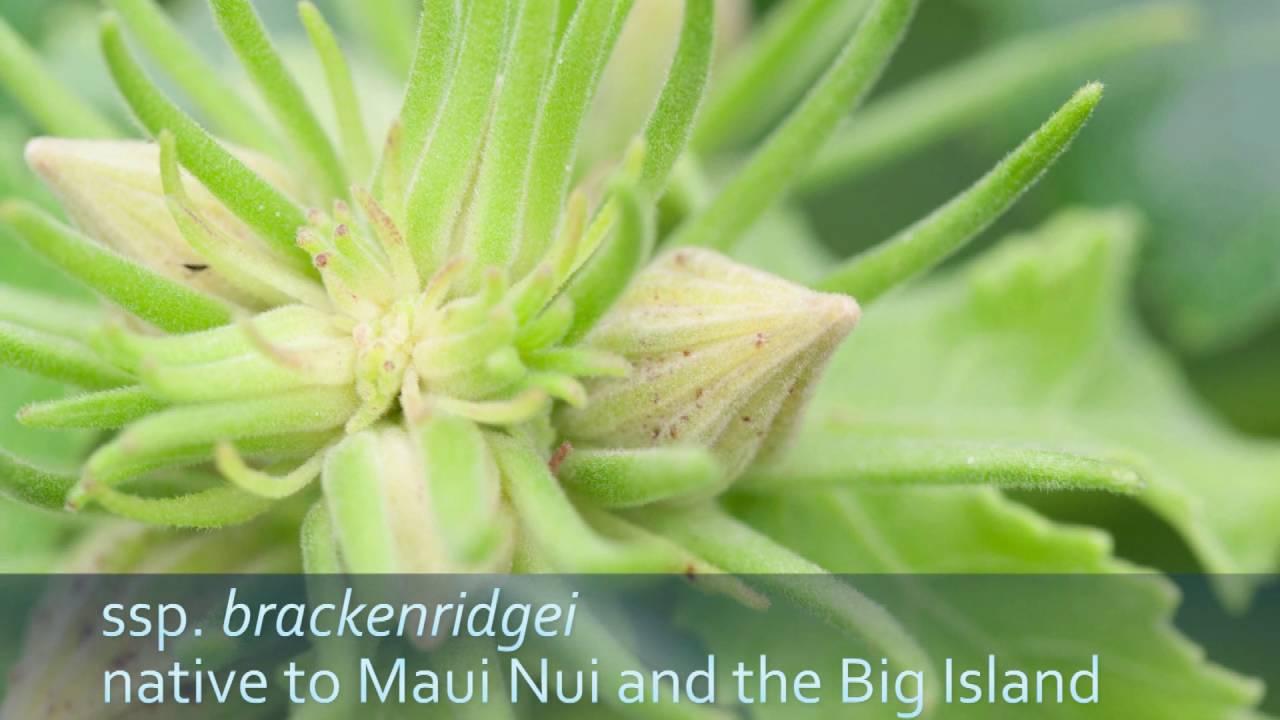 Hawaiis Native Hibiscus Youtube