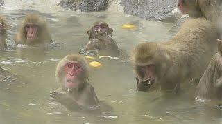 冬至の12月22日、福岡市動物園のサル山にゆず湯が現れた。 【記事は...