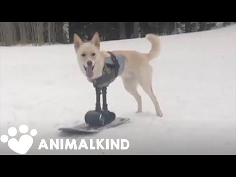 Dog with disability hits the slopes   Animalkind