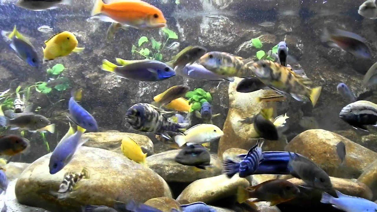 Malawi aquarium 937ltr best video youtube for Aquarium 600l