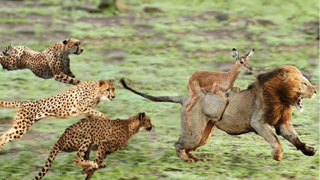 ЖИВОТНЫЕ В ДЕЛЕ! Версус льва, крокодила, леопарда, гиены, гепарда, диких собак
