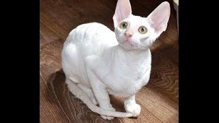 Котёнок породы корниш рекс - Фродо .
