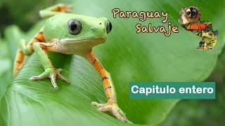 """Paraguay Salvaje: """"Ranas, Sapos y Escuerzos"""""""