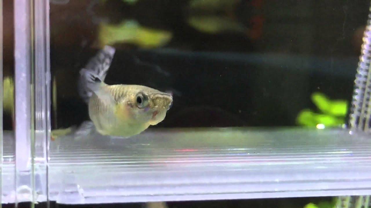 Parto di una guppy e nursery in rete con tutti gli for Sala parto pesci