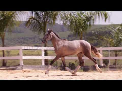 Lote 24 Orvalho do castanheiro Cavalos puro sangue Lusitanos - Coudelaria aguilar