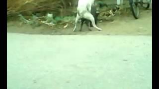 Dog & Pig mating2.mp4