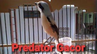 Si Predator Cendet Sumatera Gacor Sampai Teler