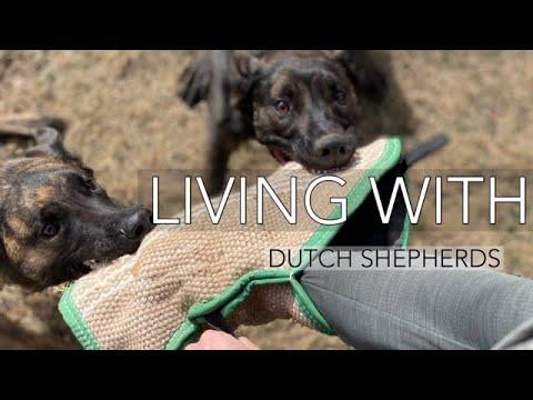 Living with Dutch Shepherds/ Belgian Malinois