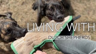 Living with Dutch Shepherds/ Belgian Malinois