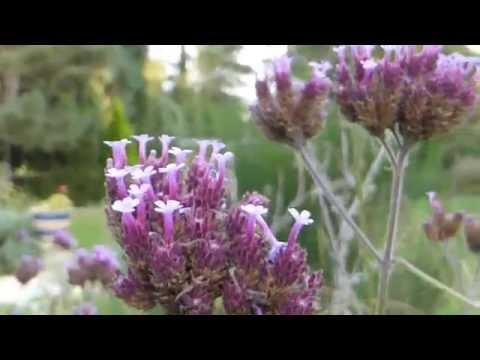 Verbena  - Purpletop vervain - Járnurt - Skrautplanta - Garðagróður