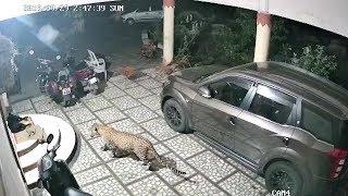 Takdak pun harimau bintang kat Kampung Perik, Kedah