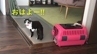 猫より先に朝起きたら、鳴きながら探しに来た【ムスビの朝】 thumbnail