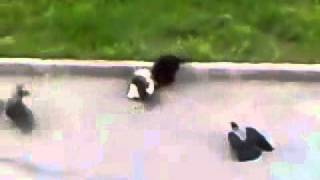 Funny Video - Crows vs Cat vs Cat vs Crows Street fight Better than MMA UFC