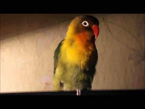Неразлучник Фишера, попугай Фишка | parrot Fischer, Agapornis fischeri