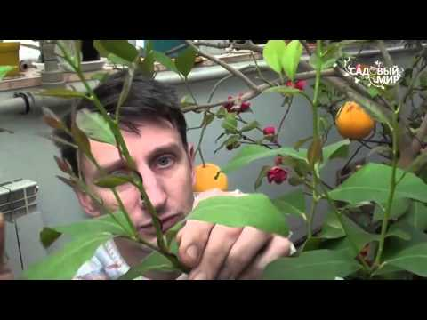Как формировать комнатный лимон и другие цитрусовые