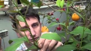 Как формировать комнатный лимон и другие цитрусовые(Как формировать комнатный лимон и другие цитрусовые. Когда проводить обрезку лимона, как добиться роста..., 2015-12-03T11:57:38.000Z)