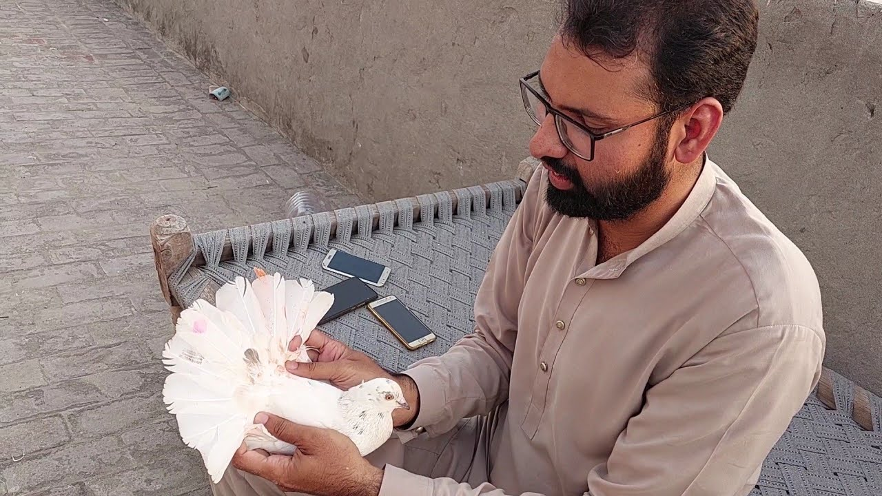 3 Mohar Wala Kabootar Pakra    Hashim Mahmood Pigeons