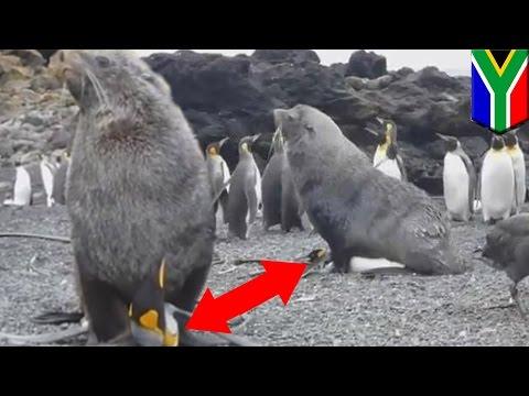 南極でオットセイがペンギンに「性的暴行」