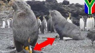 南極との間にある南アフリカのマリオン島で、キング・ペンギンが雄のオ...