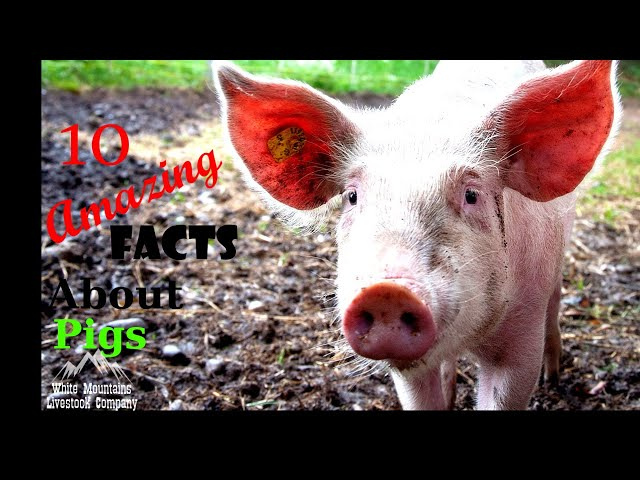 10 Facts About Pigs (You Probably Didn't Know)
