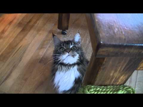 Maine coon brat cat