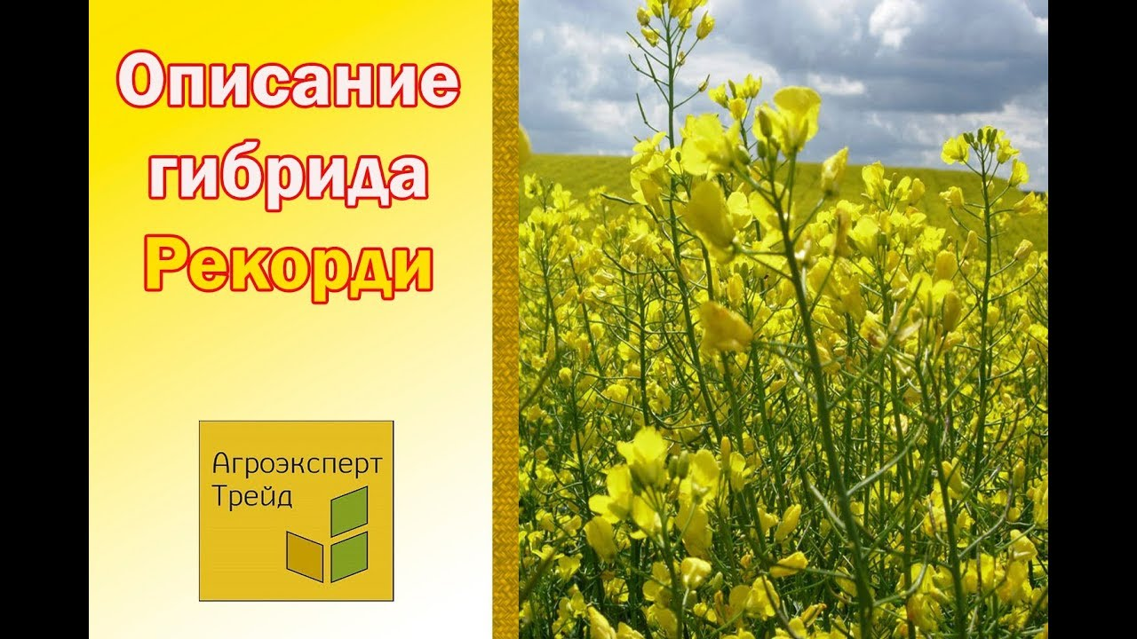 Озимая Пшеница Конка, описание сорта - семена в Украине - YouTube
