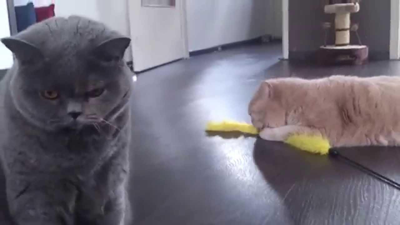 British shorthair cat you tube