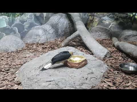 Eating male of Mindanao hornbill