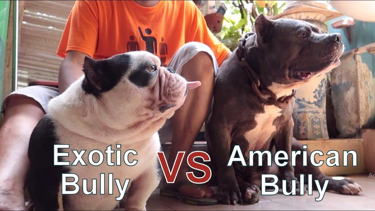 Sự Khác Nhau Giữa American Bully \u0026 Exotic Bully/ NhamTuatTV - Dog in Vietnam