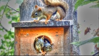 Red Squirrel Babies in Nest Box
