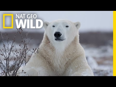 Polar Bears 101 | Nat Geo Wild