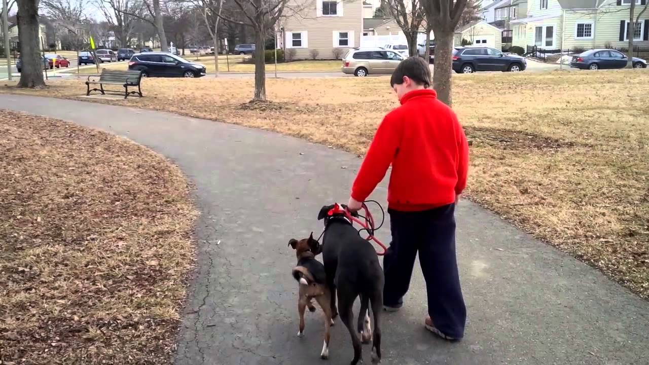 Watch How to Walk Two Dogs at the Same Time on Leashes video
