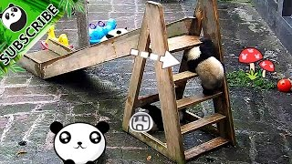 【Panda Top3】Naughty panda baby found a new way to play slide!