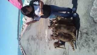 Mapaches Escolleras Tampico-Miramar