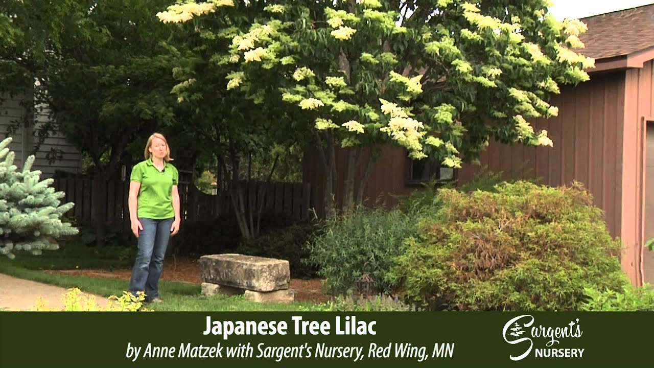Anese Tree Lilac Sargent S Nursery Inc