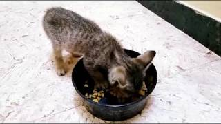 Mew tries Whiskas Kitten Dry Cat Food for the first time...