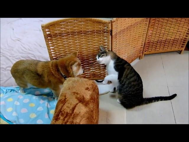 ぽーっとしてる柴犬を目覚めさせようとする猫  Shiba Inu and Cat