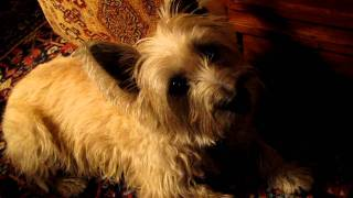 The Cairn Terrier Chronicles - Merry Holidays From Pavlov And The Family