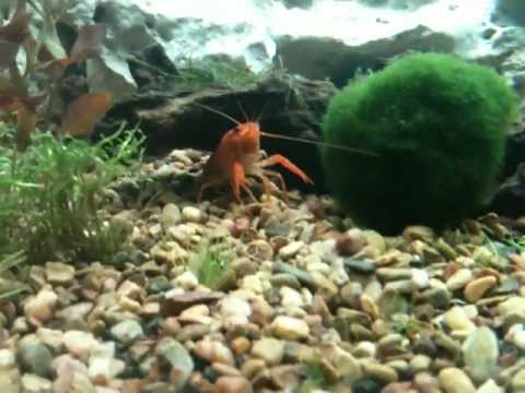 Word Of Caution On Aquarium Crayfish!