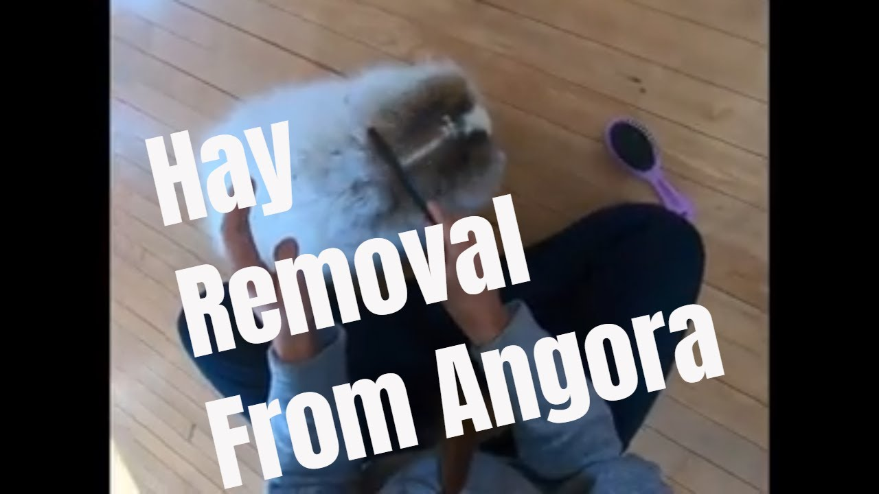 Using a comb to remove hay from angora rabbit wool