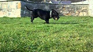 Staffordshire Bullterrier Playing With Ball