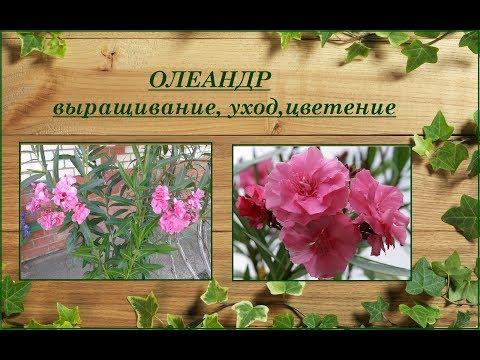 Олеандр - выращивание, уход, содержание зимой