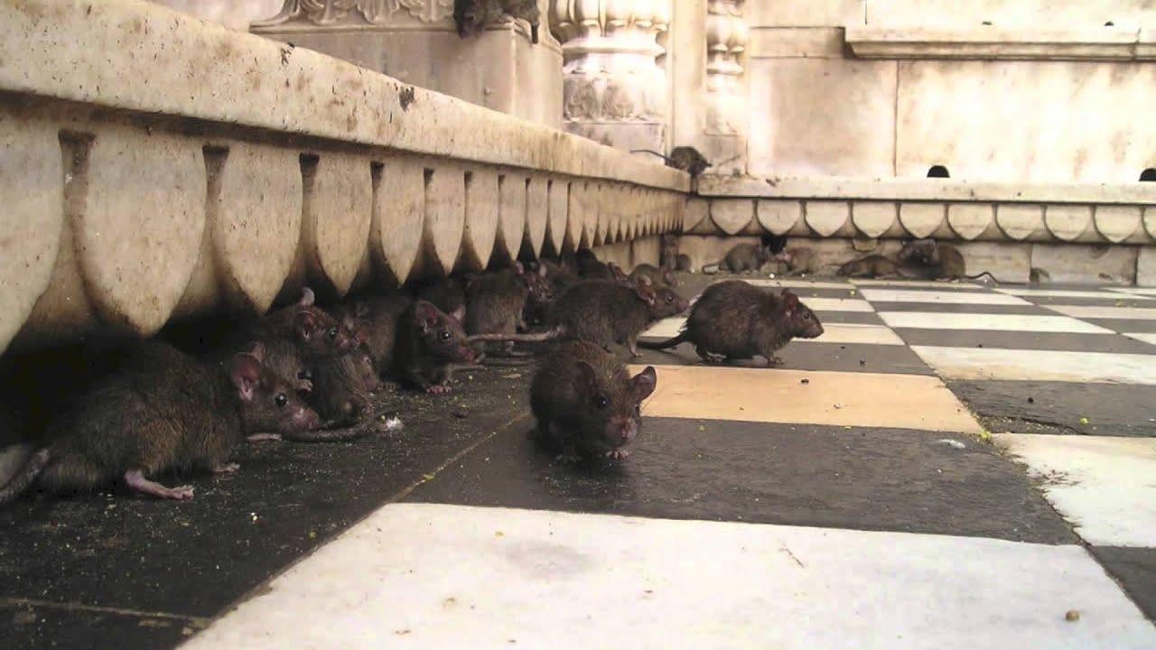 C mo eliminar ratas youtube - Como matar ratas en casa ...